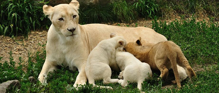 White-Lions-Eco-Safari-Banner2